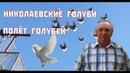 Николаевские Голуби Полёт Голубей