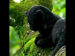 Чёрная пантера под дождём в лесу