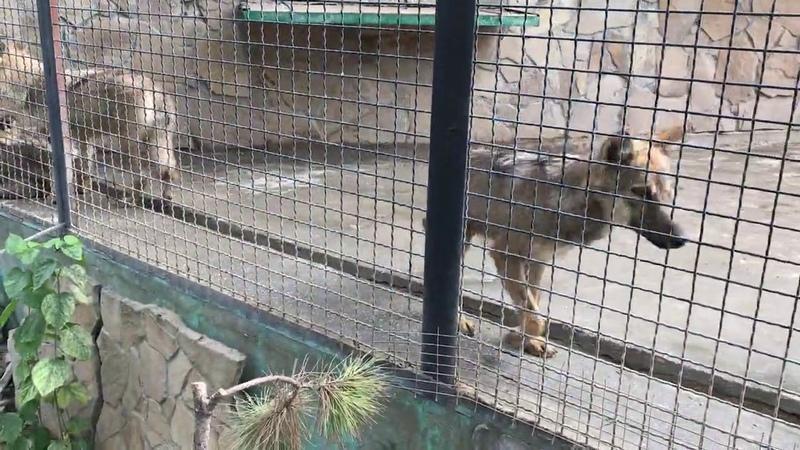 Стая волчат спасенышей A flock of rescued wolf cubs