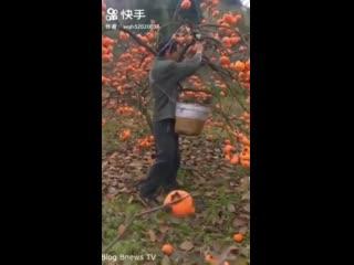 Как растут фрукты в Китае