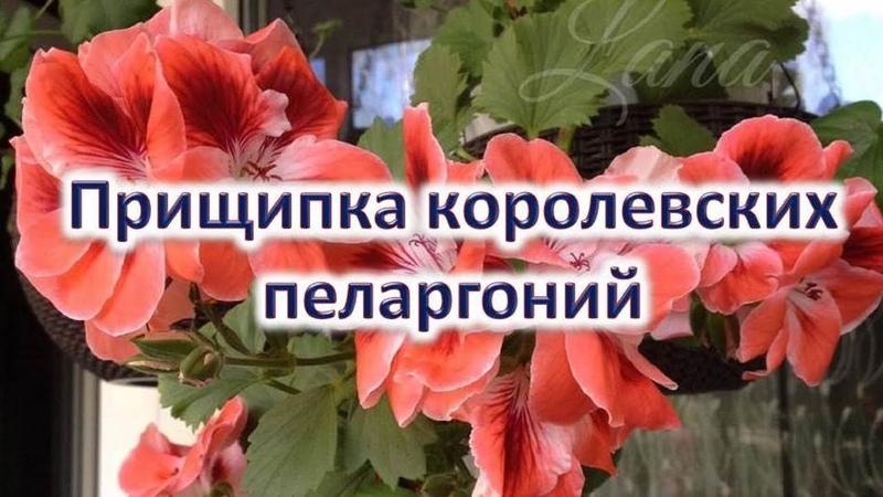 Прищипка королевских пеларгоний Выпуск от 27 01 21