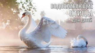 Учим птиц, развивающие мультики, видео для детей, водоплавающие птицы