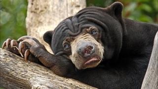 БИРУАНГ - необычный малайский медведь, который ест насекомых и вьет себе гнезда!