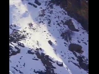Охота снежного барса