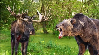 Бой медведей. Медведь и лось. Медведи и поросенок. Медведь догоняет лосиху с лосенком. Жесть Видео.