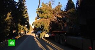 Главную новогоднюю елку для Петербурга спилили под присмотром Деда Мороза