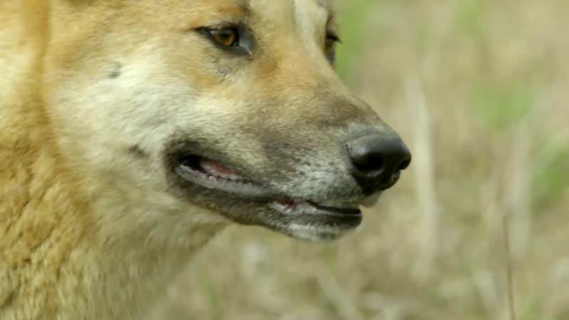 Тайны дикой природы Австралии Динго s01e02 1080p