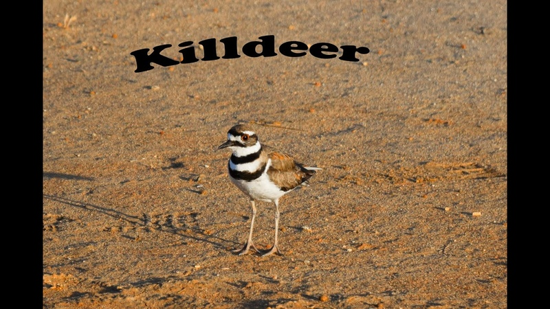 Зуёк симулирует сломаное крыло чтоб защитить кладку с яйцами Killdeer is doing a broken wing act