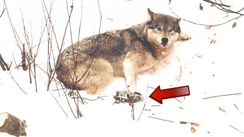 Волчица попала в капкан её ВОЛЧАТА ждали её в норе но случайно её заметил добрый мужчина