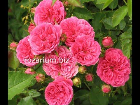 обрезка роз высаженных год назад питомник роз полины козловой pruning Park roses