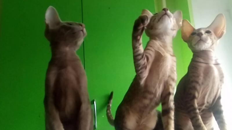 Ориентальные котята.Продаются