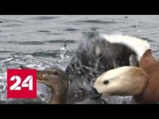 Прохожие спасли семейство уток от буйного огаря - Россия 24