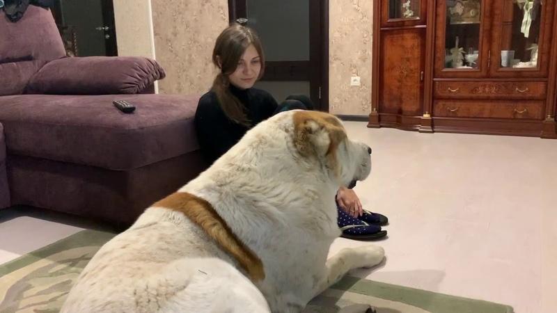 алабай в гостях Алабай комнатная собака