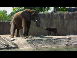 В защиту слонов / An Apology to Elephants / 2013
