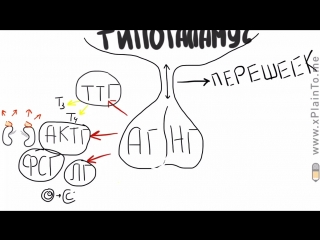 What is ГИПОФИЗ - Что такое гипофиз Строение и функции гипофиза