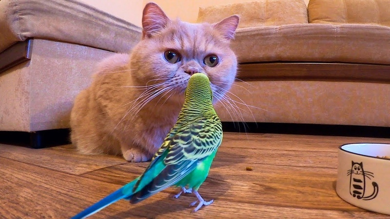 The parrot watches how delicious the cat eats. Cat mukbang.