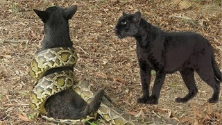 ПАНТЕРА В ДЕЛЕ! Черная Пантера против Собаки Анаконды Тигра Крокодила Ягуара