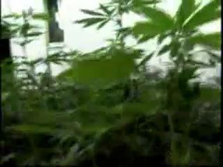 Смотреть высший пилотаж выращивания марихуаны марихуаны в вагоне