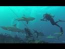 Ray of Hope (Shark Dive) Nassau Bahamas.