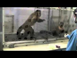 Capuchin monkey fairness experiment