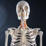 Скелет человека с паравертебральной (околопозвоночной) нервной системой