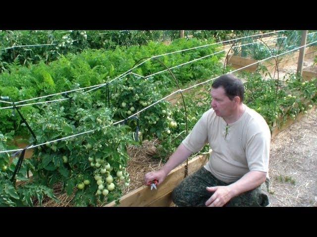 Как нормировать количество плодов томатов открытого грунта