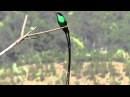 Вымпелохвостый колибри Red-billed Streamertail Trochilus polytmus