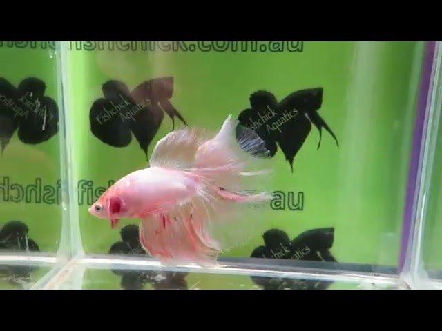 Fishchick Auctions Fairy Floss Halfmoon Male (newlisting)(b6b6)
