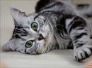 Американская короткошерстная кошка милая аборигенка