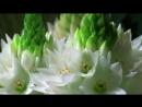 Красота распускающихся цветов_