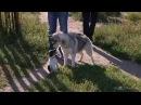 Жизнь замечательных зверейПорода Хаски Прыгает на гостей,выбегает из подъезда,тянет к собакам