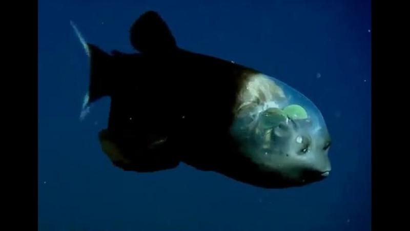 Рыба с прозрачной головой Малоротая макропинна рыба которая высматривает добычу через свой прозрачный лоб