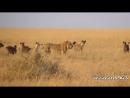 реальная Африка. лев против стаи гиен