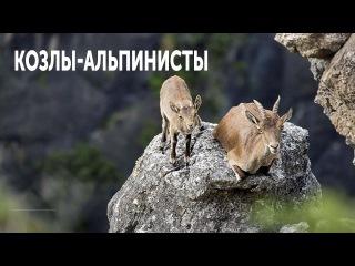 Горные Козлы Альпинисты Козлы Которые Не Боятся Высоты /Почемучка TV