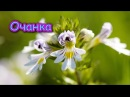 Это растение для лечения ГЛАЗ АЛЛЕРГИИ КОЖИ улучшения ПАМЯТИ