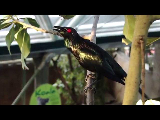 Asian glossy starling Малайский аплонис Aplonis panayensis