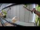 Вылет птенцов амадины гульда, 24 дня