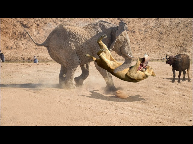 Elephant Rescued Buffalo From Lion Elephant Attacks Lion Big Battle Elephant Herro