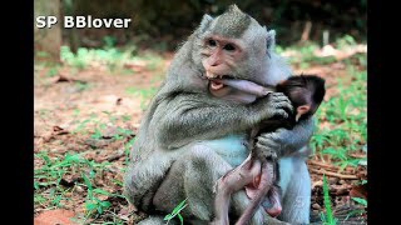 Why Monkey Mom Weaning Baby Very Young Baby Cry Loud - BBlover 79