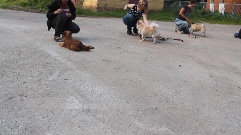 Связка Лежать Стоять маленькие собачки