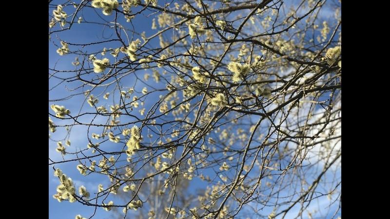 Ранние весенние медоносы Ивовый майский мед Влог 4
