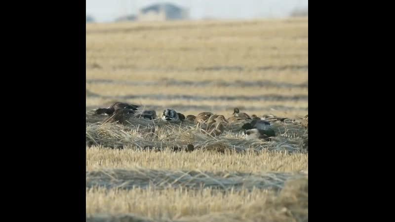 Утки кормятся на поле enrb rjhvzncz yf gjkt