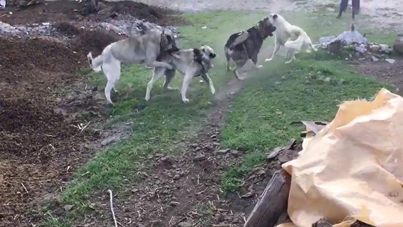 Sürünün Kangalları Birbirine Girdi