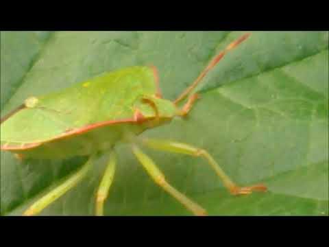 Щитник зелёный древесный лат Palomena prasina