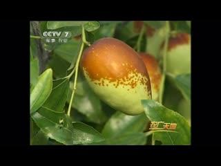 Китайский финик, или Зизифус настоящий (лат. Zizyphus jujuba) ''Цзао'' (ююба, жужуба, унаби)