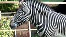 Зебра Греви Московский зоопарк Grevy's Zebra Moscow zoo 斑马 动物园 ゼブラ 動物園 얼룩말 동물원 حمار وحشي जेब्रा