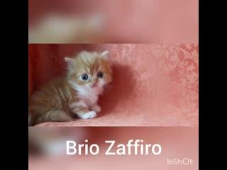 Котик в поисках мамочки. СВОБОДЕН К РЕЗЕРВИРОВАНИЮ котенок шотландский полудлинношерстный страйт.