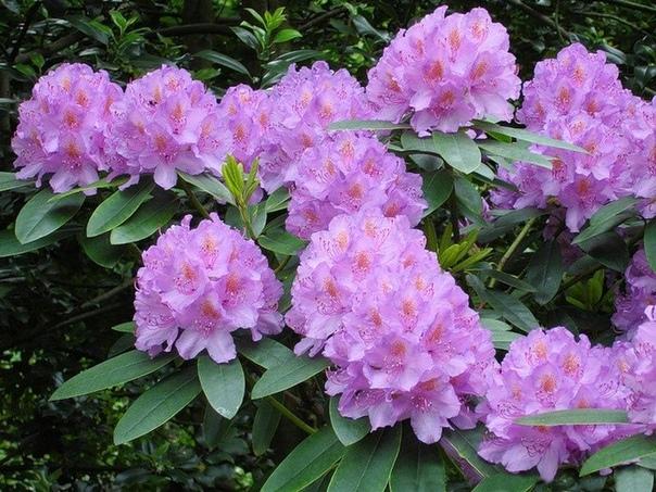 Картинки по запросу Рододендрон – прекрасное украшение сада