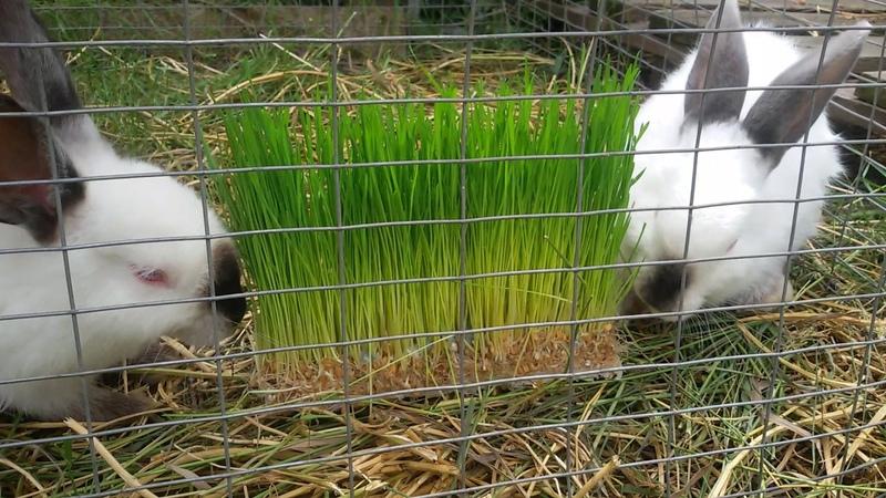 Поедание гидропонного корма кроликами