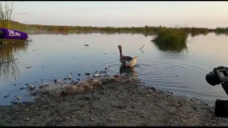 Серого гуся после реабилитации выпустили в естественную среду обитания